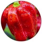 Habanero Red Savina Chili / 20 semi / 577.000 Scoville/caldo/facile da coltivare