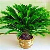 getso impianto mini cycas bonsai piante cycas revoluta thunb bonsai ferro albero in vaso per la casa da giardino piante da balcone al coperto: 15