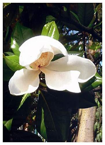 TROPICA - Magnolia à grandes fleurs (Magnolia grandiflora) - 20 graines- Méditerranée
