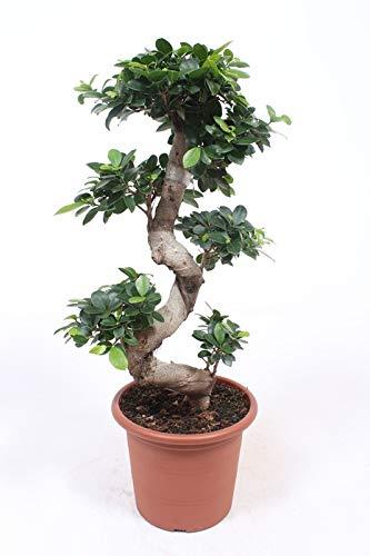 Planta de interior de Botanicly – Bonsai – Altura: 70 cm – Ficus microcarpa Gin Seng