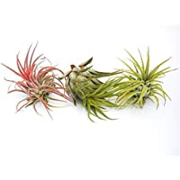 Tillandsia: Ionantha + Rojo + Scaposa Aire Planta Interior Hogar Flor Planta para Regalo Regalo Especial Boda