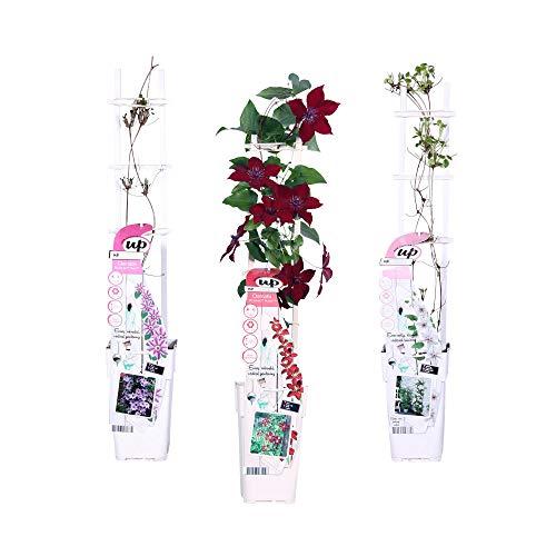 2er Set Trauben Pflanzen | Bio Obststrauch | Winterfeste Kletterpflanzen | Höhe 30-60 cm | Topf Ø 13 cm