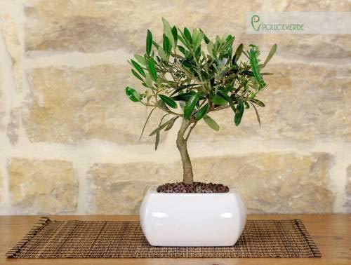 Bonsai di Olivo in vaso quadro bianco