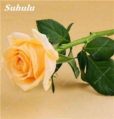100 pièces/sac Couleur Rare Rose Graines Outdoor Bonsai Graines de fleurs vivaces Fleurs Graines Plante en pot pour jardin Décor 12