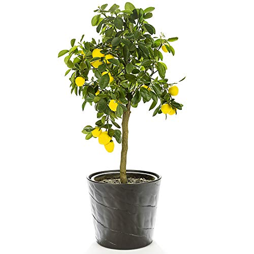 Lemon Plant Citrus Fruit Houseplant Grow...