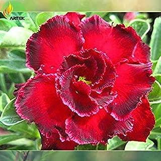 2018 Semillas Rosemarie' Dark Red Desert Rose Adenium obesum, Paquete Profesional, 2 Semillas/Paquete, Grandes Flores Dobles con Gris Edge