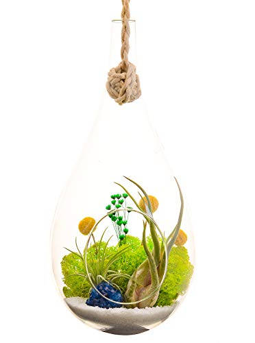 "Bliss Gardens Teardrop Air Plant Terrarium Kit with Blue Amethyst, 2 Air Plants/Large Hanging 13"" Glass/Wonky Wonderland"