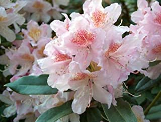 """Rhododendron Cunningham's Blush- White and Light Purple Bloom - Grows Seven Feet Tall - Three Gallon Plant-12"""" to 15"""" Wide Plant – Typically Three Gallon"""