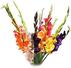 (10) Fresh, New 2018, Giant Flowering Mixed Colors Gladiolus Bulbs, Plants, Flowers, Flowering Perennials,Sword Lily, Gladioli-SeedsBulbsPlants&More