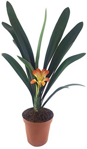 zauberhafte Clivia Hybride - ungewöhnliche orange, gelbe Blüte - Riemenblatt für des helle Fensterbrett geeignet - Klivia sehr schöne Zimmerpflanze