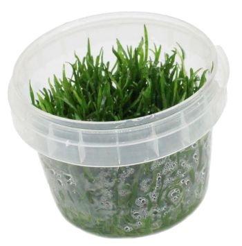 Mauritius-Graspflanze / Lilaeopsis mauritiana - In-Vitro
