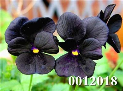 Generic Fresh 100 Pcs Stiefmütterchen Blumensamen zum Pflanzen Dunkelviolett