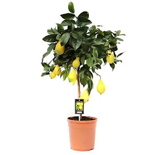 citronnier lidl