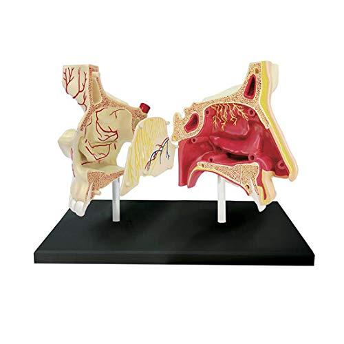 ZJM 4D Modelo Anatómico De La Cavidad Nasal, Órgano Humano Modelo De Enseñanza Médica Nasal 7 Piezas Desmontables DIY Ensamblado Juguetes Educativos