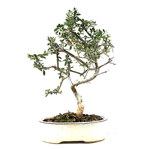 Bonsai, Olivenbaum, Olea europaea sylvetris, 7 Jahre, 22 cm Höhe