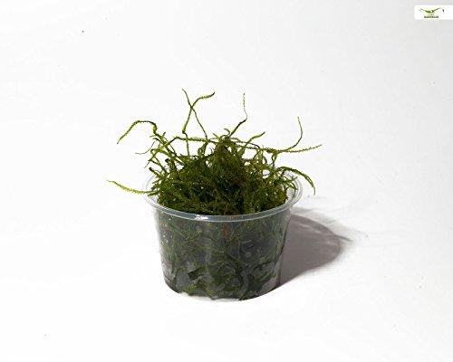 Garnelio - Weepingmoos - Vesicularia ferriei - Portion/Moos für Garnelen Aquarium Ideal für Moosbaum