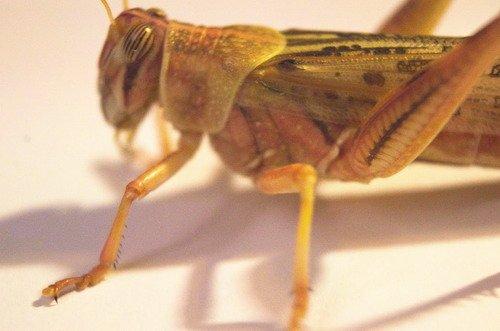 WFW wasserflora Lebende Wüstenheuschrecken groß - ca. 9 Stück