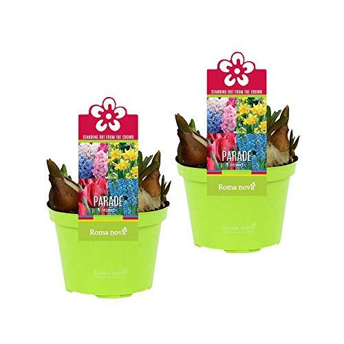 2x bulbes de plantes fleuries en pot | Jacinthes, Tulipes, Narcisses & Muscaris | Mélange de couleurs | Plantes vivaces | Hauteur livraison 16-22cm | Pot Ø 12cm