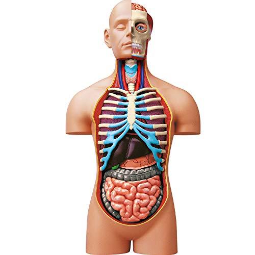 ExPLORA 546080 - Anatomía del Torso Humano - Modelo Realista de 54 Piezas - 40 cm - Torso + Elementos Desmontables + Base - Kit de Descubrimiento - para 8 años