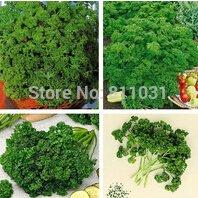 20pcs graines européennes vanille végétales Persil Loi sur les semences riche parfumé au persil