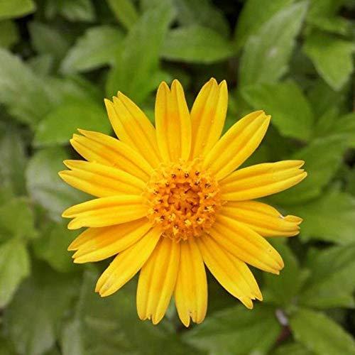 XINDUO Samen fü Blumen,Gartenbau Zierpflanze Wilde Chrysanthemensamen-0,5 kg,Blumensamen Bunte