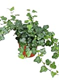 Efeu (Hedera helix), echte Pflanze, als Hängepflanze, Bodendecker oder Zimmerpflanze, pflegeleicht (im 13cm Topf, Sorte: White Wonder, zweifarbig, grün-weiss)