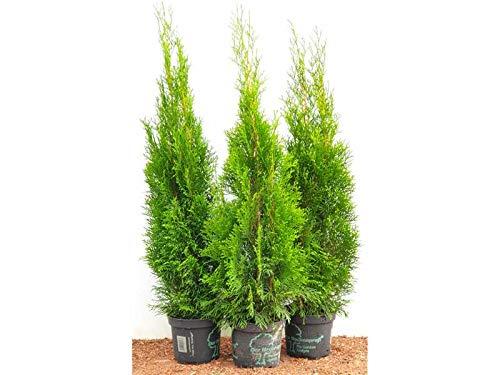 Edel Thuja Smaragd immergrüner Lebensbaum Heckenpflanze Zypresse im Topf gewachsen 80cm+ (45 Stück)