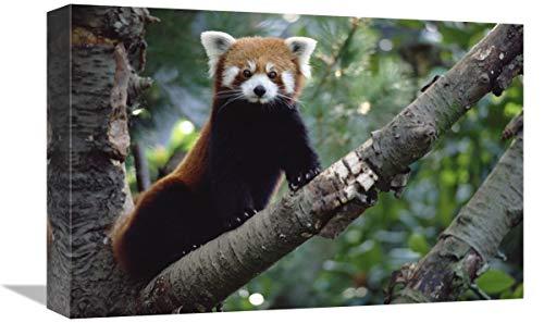 Global Gallery Lesser Panda Sentado en un árbol, China, Nepal, Birmania, Arte...