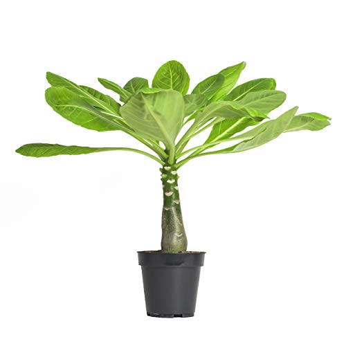 echte Hawaii Palme - ca. 45cm gross - brighamia insignis Vulkanpalme/blühende Zimmerpflanze Hawaiipalme endemisch aus Hawaii - sehr exotisch, immergrün (1, Hawaii Palmen)