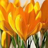 Bulbos de Azafrán,Hermosas Flores,DecoracióN,Bulbo De La Planta,Cuidado Simple,Vale La Pena Plantar-5 Bulbos
