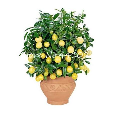 NNJEY5 100 pc//pacchetto Rare dito rosso Flores Uva Bonsai avanzata di frutta crescita naturale delluva giardinaggio piante da frutto Bloom Green Co I nuovi 2018