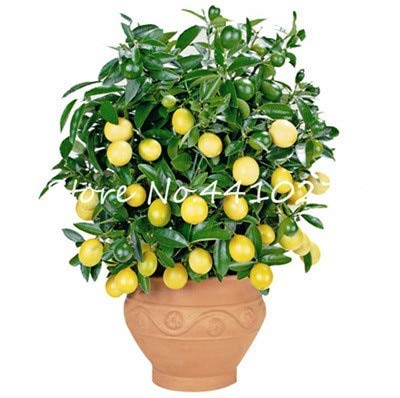Bloom Green Co. 50 PC-seltene Regenbogen Zitrone Bio-Frucht Dwarf Bonsai-Baum Lemon Tree Home Garten Obst Pflanzen Bunte Bonsai Zitrone gegessen werden kann: s