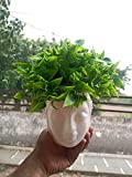 1 Mini Artificial Bonsai Plant With Plastic Pot Bonsai Material - High Quality Plastic, Pot - Plastic. Total Height With Pot- 6 Inch/ 15 cm Green leaves look realistic and is a perfect decorative item for your home, office, hotel or restaurant. Pack ...