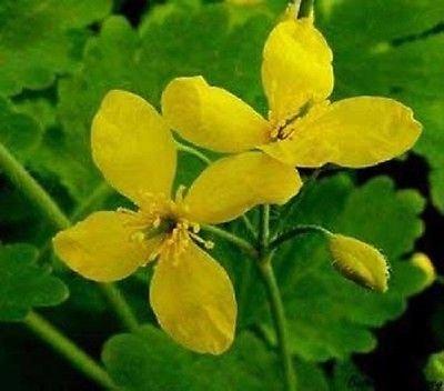 25 chélidoine (Bai-Qu-Cai) Graines (Chelidonium majus), les plantes médicinales
