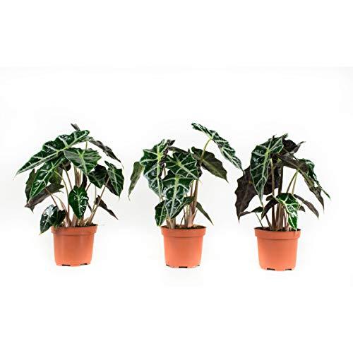 Plantas de interior de Botanicly – 3 × Oreja de Elefante – Altura: 30 cm – Alocasia Sanderiana Polly