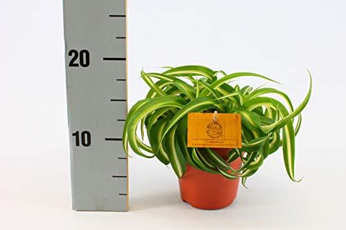 Zimmerpflanze von Botanicly – Graslilie – Höhe: 20 cm – Chlorophytum comosum Bonnie