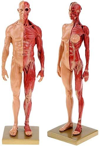 FANPING Anatomisches Modell des menschlichen Körpers-weibliche und männliche Anatomie Figur Menschlicher Muskel und Skelett Anatomisches Modell for Schule Studie Klassen 11 Zoll (30 cm)