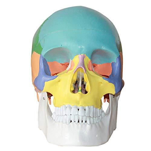 WPY Menschliches Schädel-Modell Mit Anatomischem Anatomie-Modell Mit Farbiger Knochengelenkstimulation,der Unterrichtsmaterial studiert (22 * 16 * 13cm)
