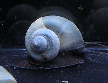 Polar Bear s Pet Shop 5 Blue Mystery Snails Live Freshwater Aquarium Snails