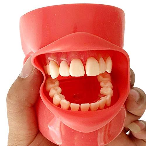 ALBB - Modelo de dientes – Simulación bucal dental - Modelo de práctica de extracción de dientes con cabezal simple