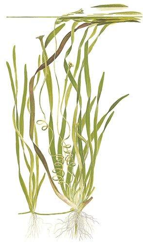 3 Bunde Vallisnerien, Vallisneria, Aquariumpflanze - 3