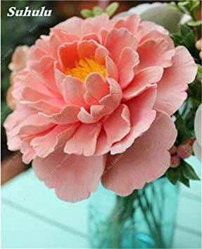 Chinese National Flower 5 graines Pcs Pivoine Plante en pot Paeonia suffruticosa Arbre Terrasse Cour Illuminez votre jardin personnel 4