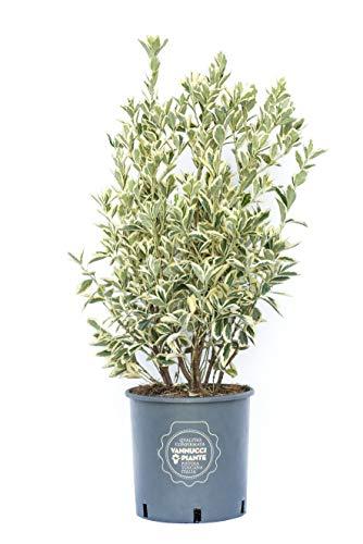 Euonymus japonicus Bravo, Vannucci Piante, Evonimo Bravo, Pianta vera in vaso, Pianta da siepe, Pianta da terrazzo, Arbusto sempreverde