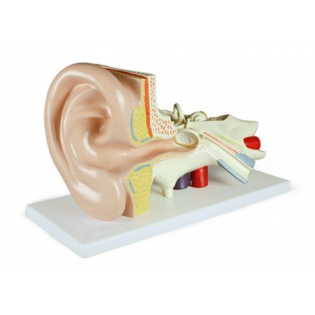 Vision Scientific VAE402-AN 3X Ear Model-3 Parts | Shows External, Middle & Inner Ear | Removable Pieces Eardrum with Malleus, Incus Stapes, Cochlea with Nerves & Labyrinth with Vestibular | W Manual