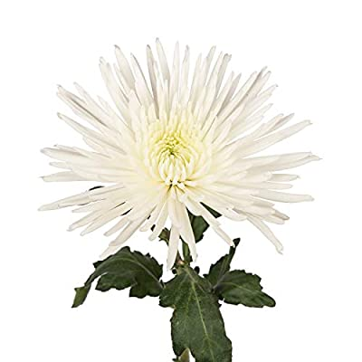Farm Fresh Natural White Spider Mums - 60 Stems from Bloomingmore