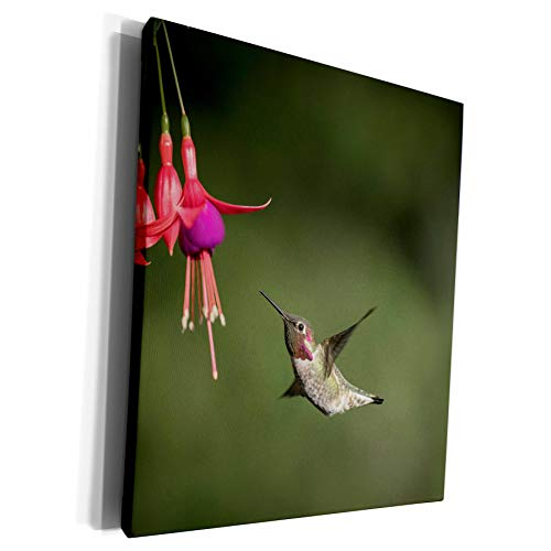 3dRose Danita Delimont - Hummingbirds - Washington. Male Annas Hummingbird hovers at a fuchsia flower - Museum Grade Canvas Wrap (cw_279696_1)
