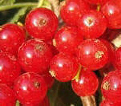RED Lake Currant Fruit Shrub Small Tree with Sweet Edible Berry Live Plant JND062