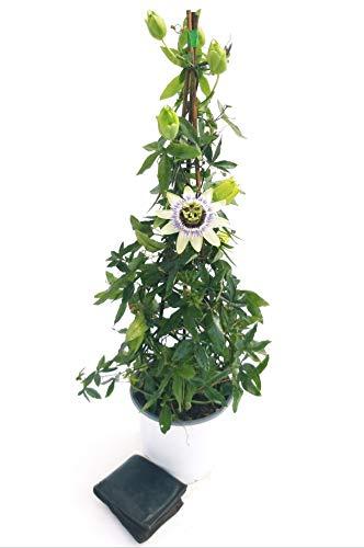PASSIFLORA EDULIS, FRUTTO DELLA PASSIONE, Piramide h 70cm vaso 18, pianta vera