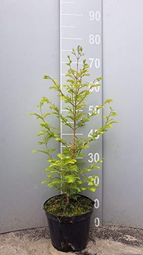 1st. Urweltmammutbaum 50-80cm im...