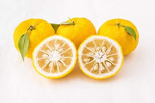 Citronnier YUZU BIO agrume rare